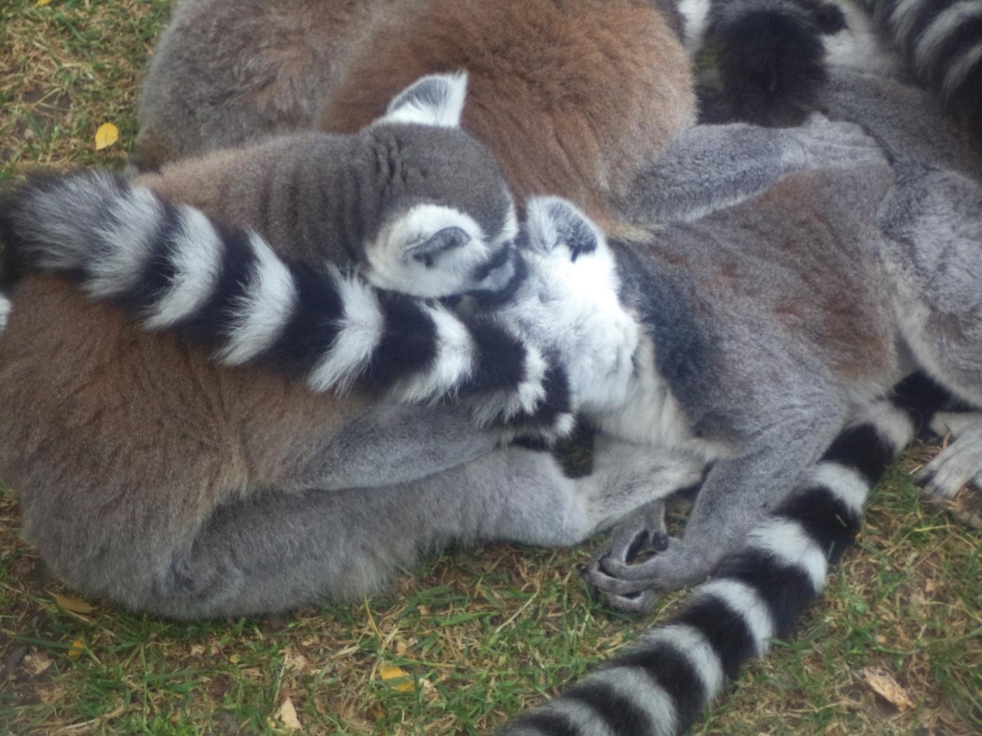 God Can Smile 04 - Lemur catta
