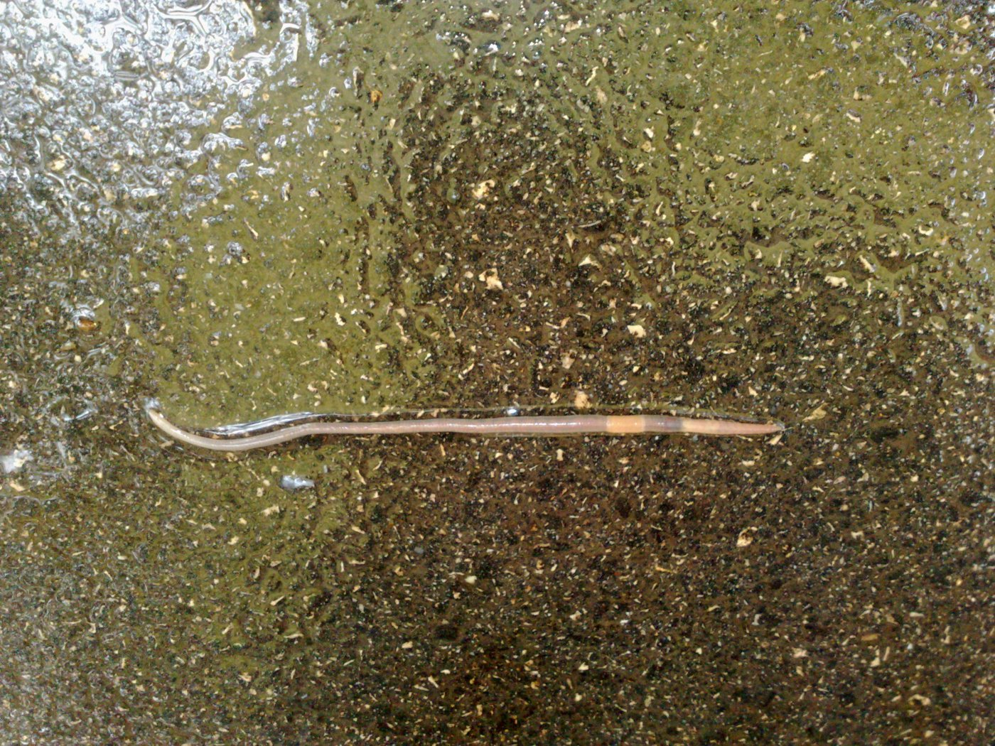 Earthworm after the rain - 1